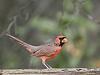 Cocky Cardinal