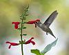 A few recent hummingbirds