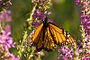 Monarch in early evening
