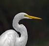 Portraits of an Egret