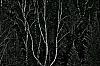 Winter Birch among Cedar