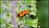 Male Shining Leaf Beetle