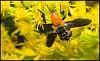 Rare Orange Body Hoverfly