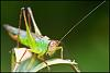 Translucent Rainbow Colored Grasshopper