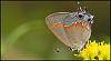 Read-Banded Hairstreak