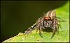 Red Headed Jumping Spider