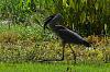 Great Blue Heron Fight