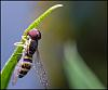 A Few Hoverfly's From Today
