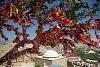 The tree In Genoese fortress in Sudak