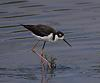 Black Neck Stilts..