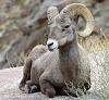 Bighorn Sheep Anza-Borrego DSP