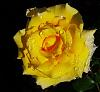 Droplets on a Yellow Rose.