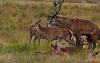 XXX RATED XXX - Red Deer Mating from Richmond Park