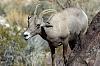 Another close encounter...Desert Bigorn Sheep