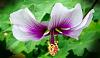 Purple Striped Hibiscus