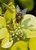 Greenie Inspects Honeysuckle Buds