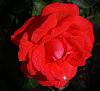 A Blushing Red