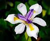 Shapely Iris