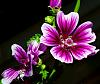 Stunning Hibiscus