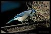 Blue Jay at the planter box