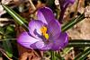 Photo of the Week - Crocus in Spring