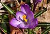 Photo of the Week - Crocus in Spring