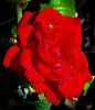 Mid Red Rose