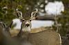 A Mule Deer Morning (15 photos)