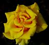 Subdued Yellow Rose