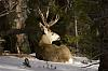 A Mule Deer Morning