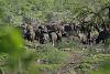 Buffalo vs Lion in Kruger Park