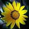 The Yellow Gazania