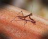 Micro Mantis
