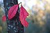 Red Leaf of Winter