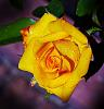 Tightly Wound Yellow Rose