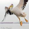 Great White Pelican at Walvis Bay, Namibia - a action sequence