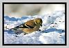 Gold Finch in the SNow