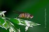 Once in a lifetime shot. Fruit Fly Laying an Egg