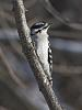 Up close with a Downy Woodpecker