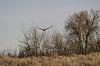Northern Harrier on the Hunt (7 photos)