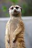 Inquisitive Meerkat
