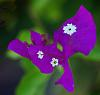 Purple Bouganvillea