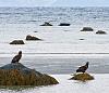 The Sea Eagles & Harbour Seals