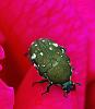 Beetle in a Red Rose