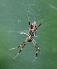 Small Golden Orb Weaver