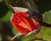 Deep Orange Rose Bud