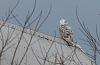 Snowy Owl - Part II - Adult female