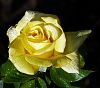 Morning light on a Yellow Rose