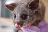 Rescued Brushtail