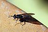 Small Black Wasp on Birdbath